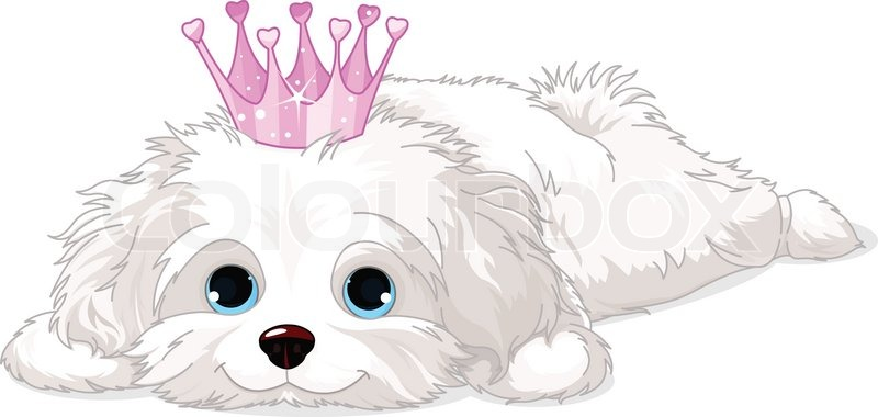 A cute white Havanese puppy with crown laying down | Stock ...