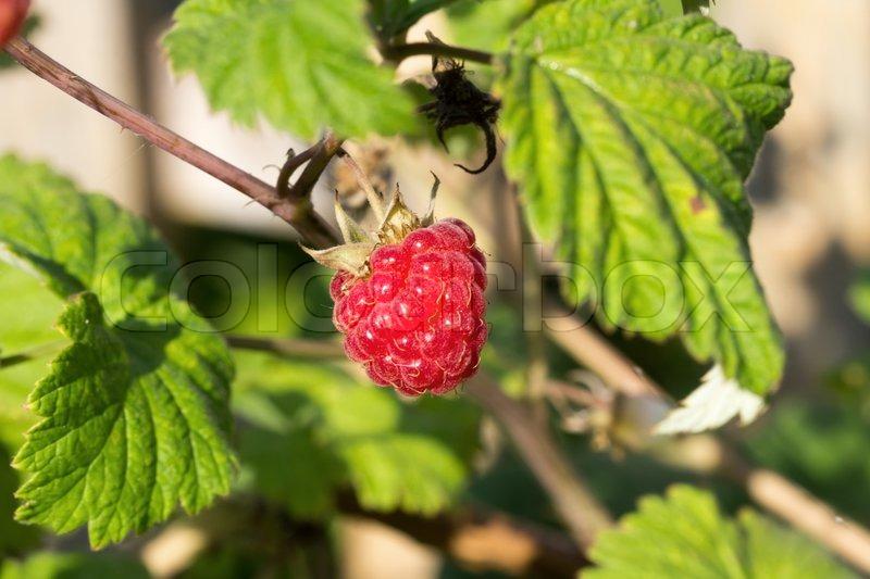 Berry raspberry bush, stock photo
