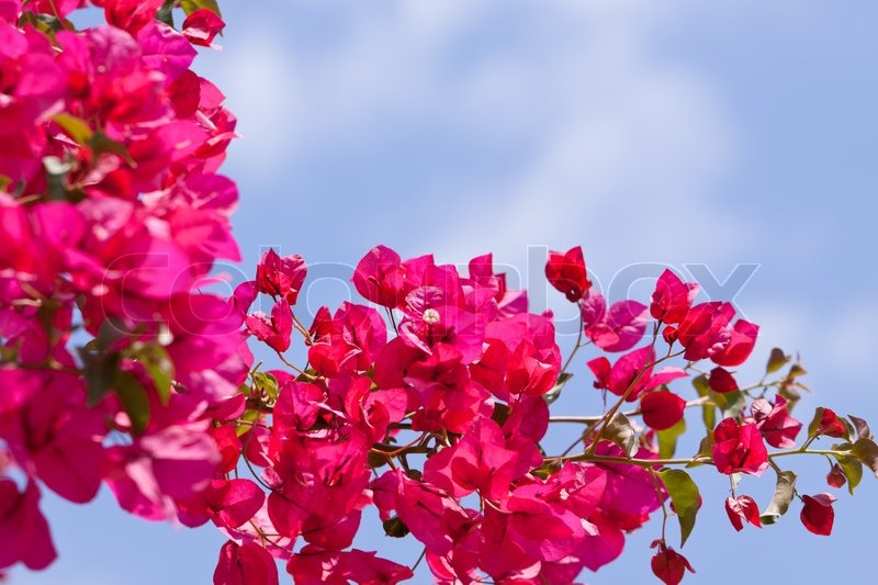 Beautiful pink magenta bougainvillea flowers and blue sky ...
