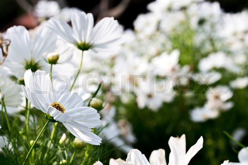 White cosmos flower in the nature stock photo colourbox mightylinksfo
