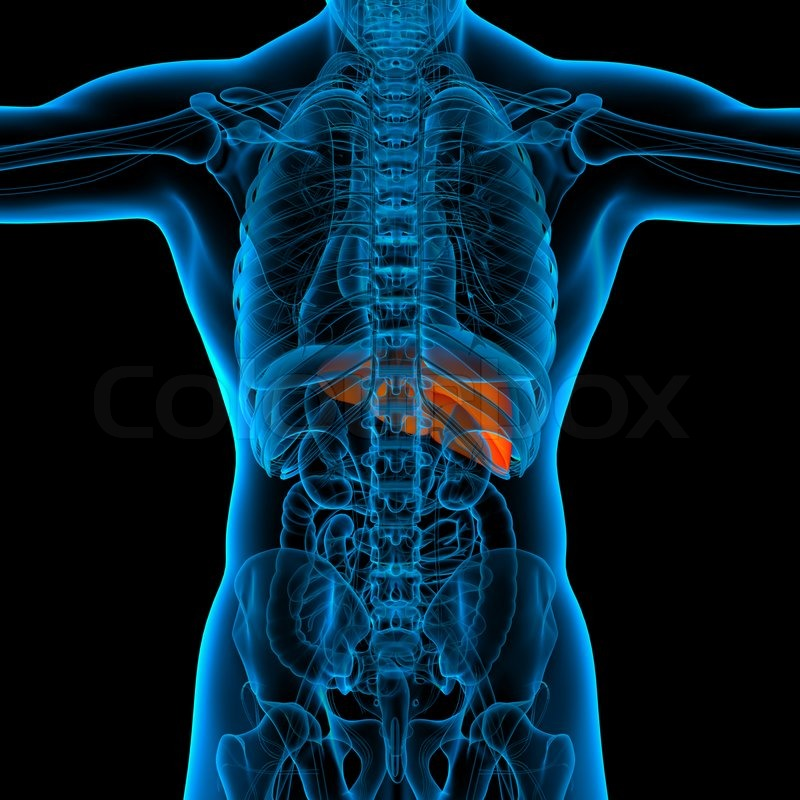 Anatomy of human liver in x-ray view - back view | Stock Photo ...