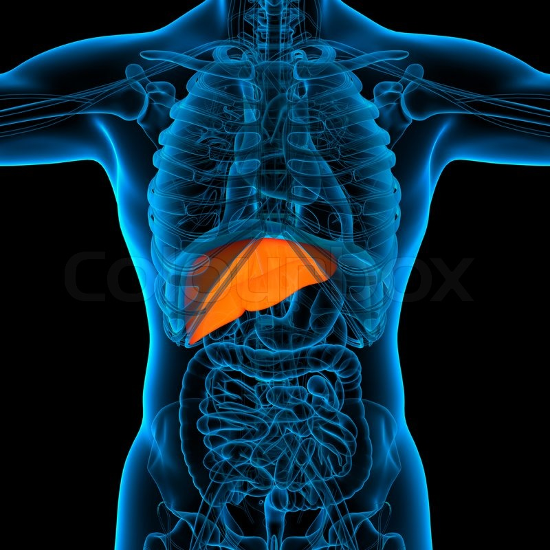 Anatomy of human liver in x-ray view | Stock Photo | Colourbox