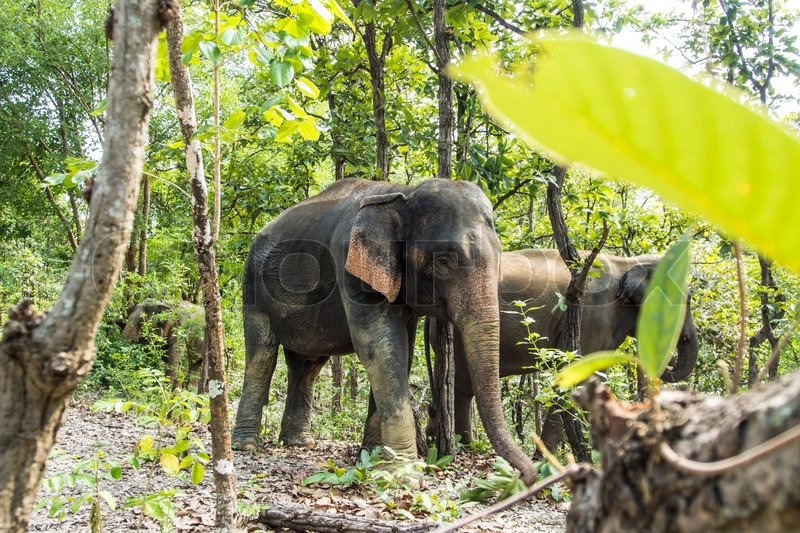 Asia elephant in tropical forest, thailand, stock photo