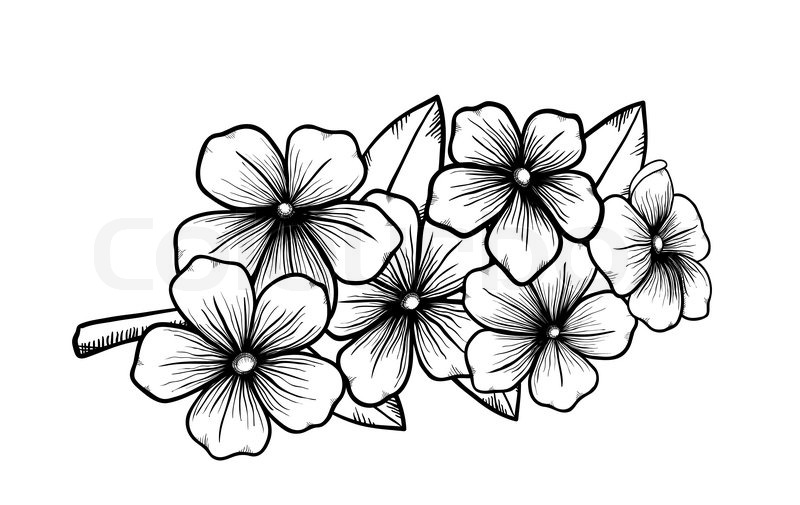 Blossom Flower Line Drawing : Branch of a blossoming tree in graphic black white style