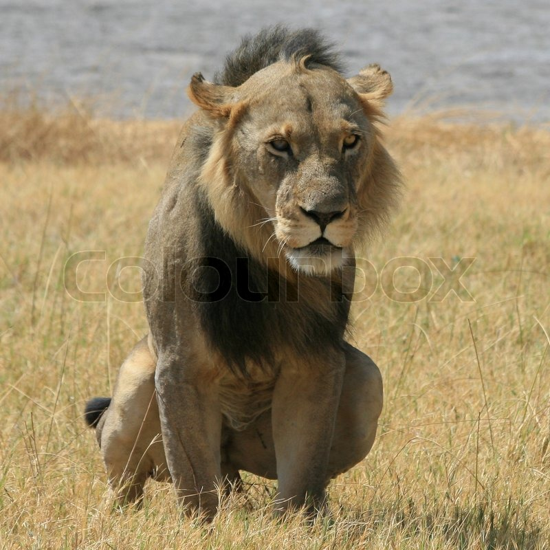 Old greyish male lion watching from its cave | Stock Photo | Colourbox