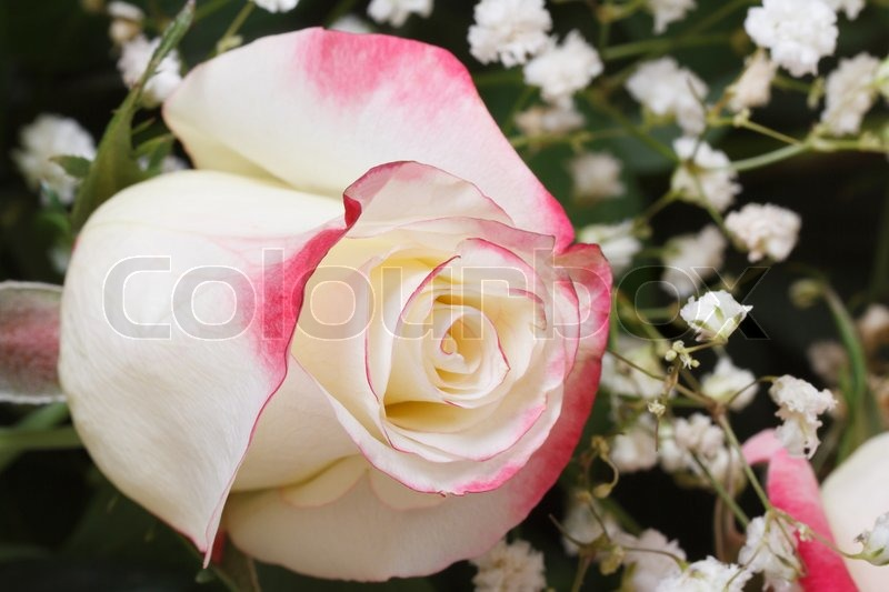 White rose with pink edges of the petals with babys breath flowers white rose with pink edges of the petals with babys breath flowers closeup stock photo colourbox mightylinksfo