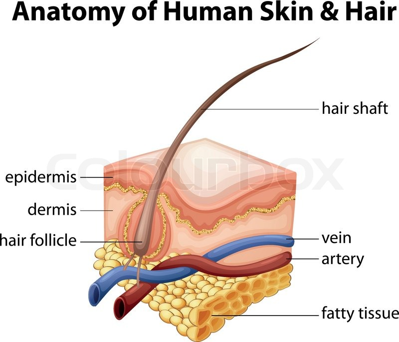 Illustration of the anatomy of human skin and hair | Stock Vector ...
