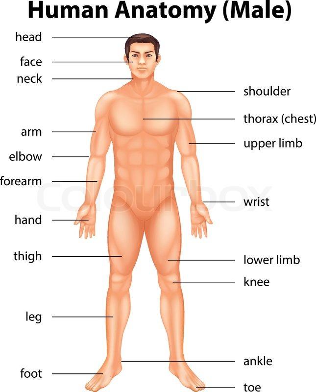 Illustration Of Human Body Parts Stock Vector Colourbox