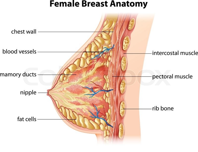 Illustration Showing The Female Breast Stock Vector Colourbox