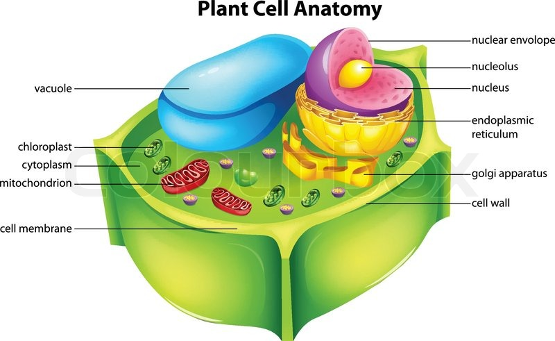 Illustration Showing The Plant Cell Anatomy Stock Vector Colourbox