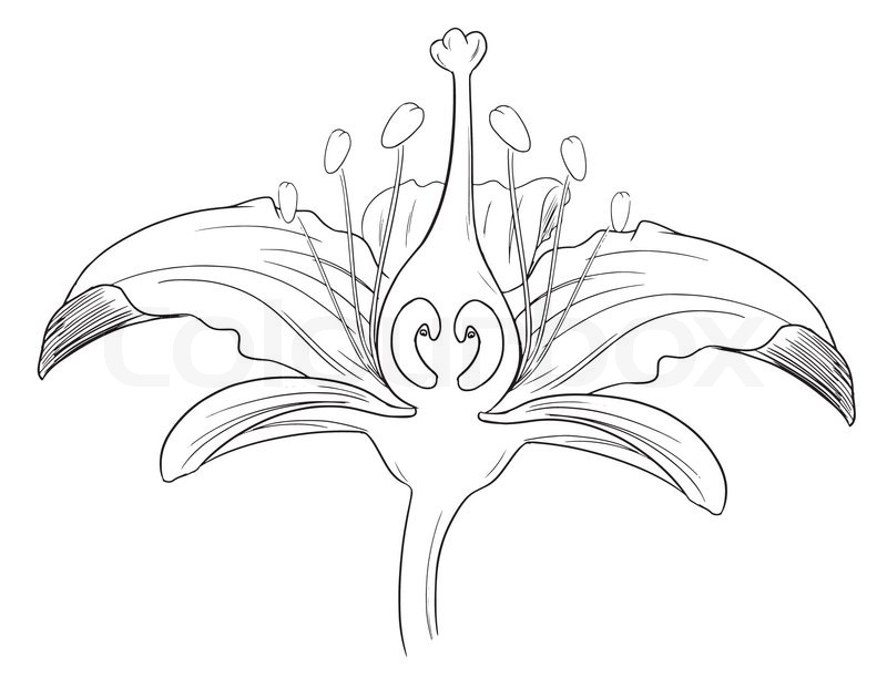 tiger lily flower black outline