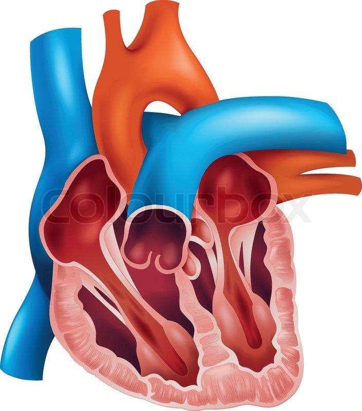 Anatomie, schaubild, ärztlich | Vektorgrafik | Colourbox