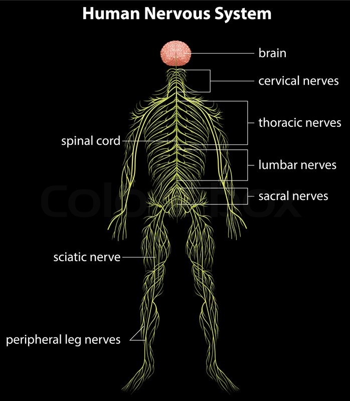 Illustration of the human nervous system | Stock Vector | Colourbox