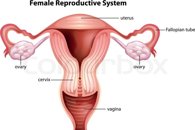 Anatomie, reproduktiv, menstruation | Vektorgrafik | Colourbox