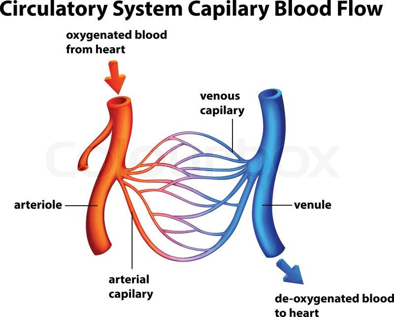 Arteriell, system, isoliert | Vektorgrafik | Colourbox