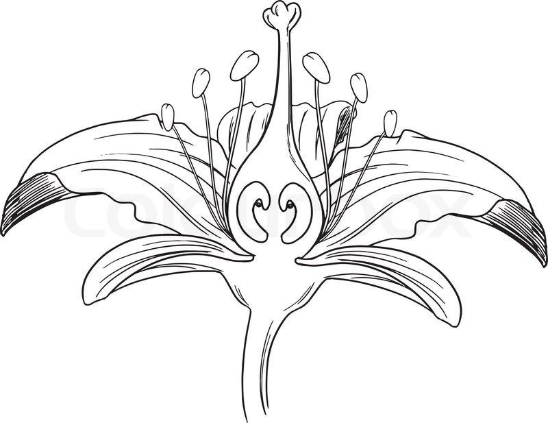 tiger lily flower outline