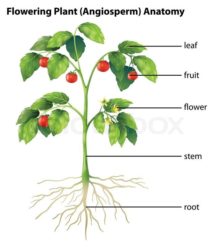 Illustration Showing The Parts Of A Tomato Plant Stock Vector