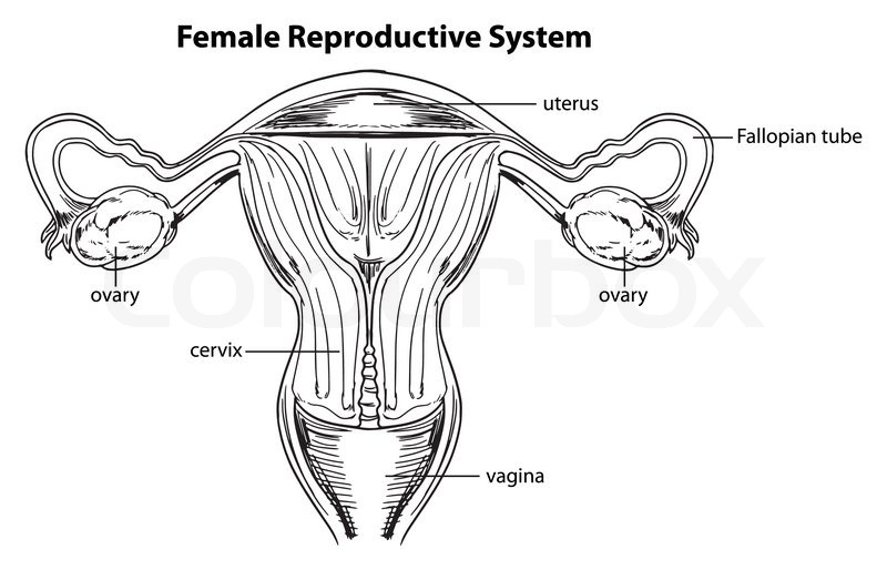 The Female Reproductive System U2014 Stock Vector Manual Guide