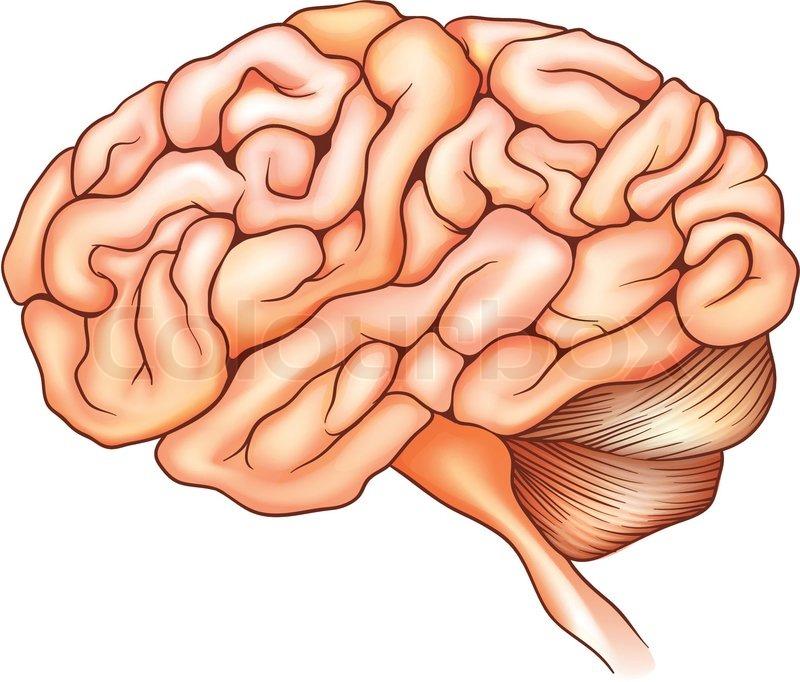 Anatomie, spinal, occipital | Vektorgrafik | Colourbox