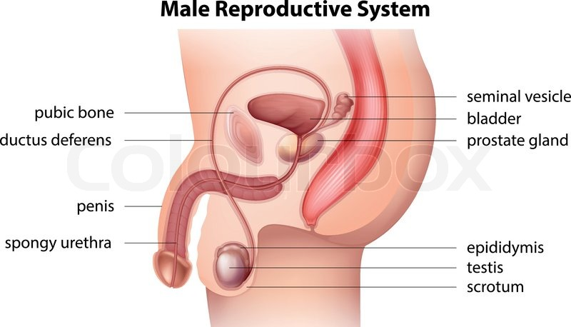 Illustration Showing The Male Reproductive System Stock Vector