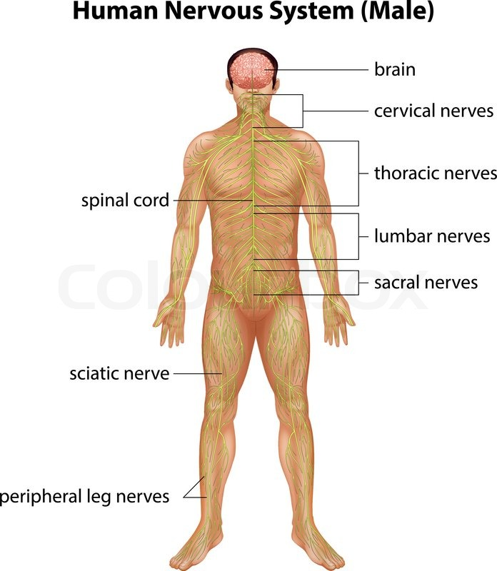 Anatomisch, nerven, system | Vektorgrafik | Colourbox