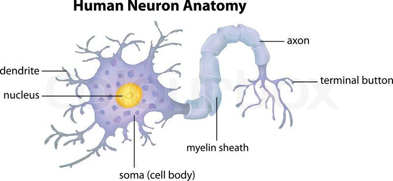 Anatomie, teile, neuron | Vektorgrafik | Colourbox