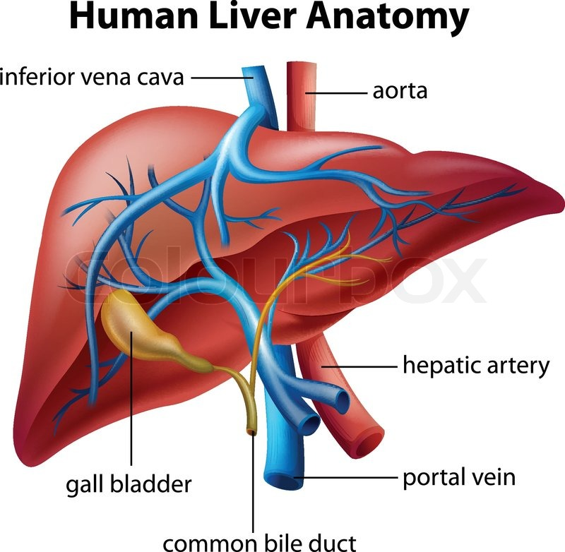 Illustration Of The Human Liver Anatomy Stock Vector Colourbox