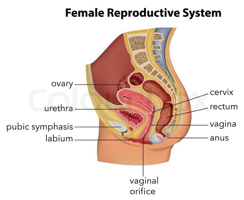 Anal, epithelium, perineum | Vektorgrafik | Colourbox
