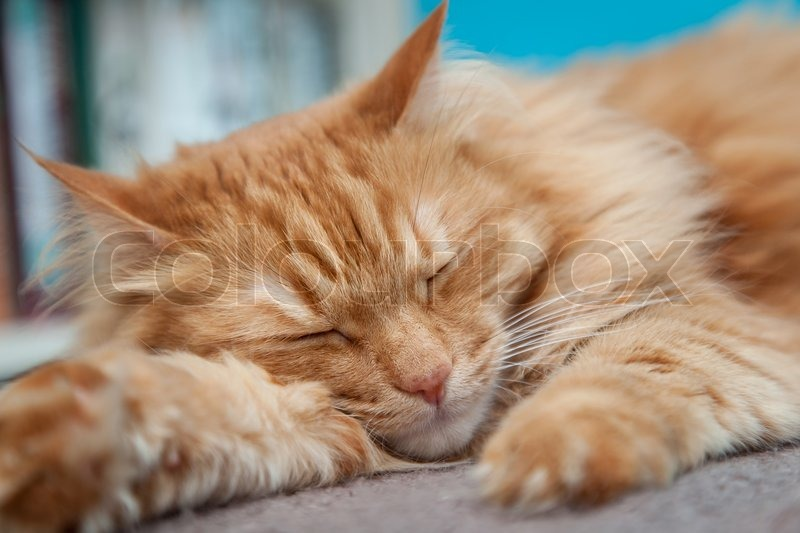 Charming Fluffy Ginger Cat Lying Down And Resting Stock Photo