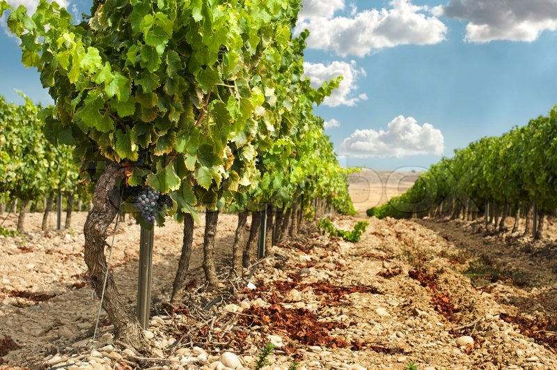 Teakbaum rinde  Vineyards in rows and blue sky. | Stock Photo | Colourbox