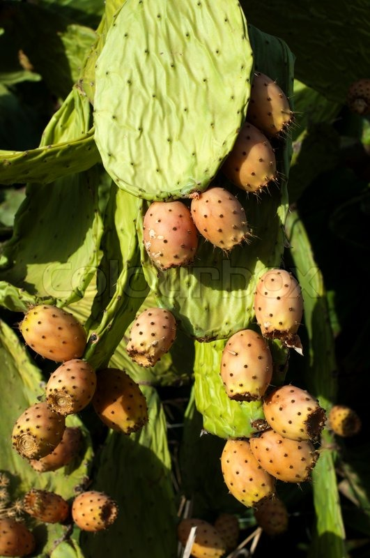 cactus fruit healthy fruits for diet