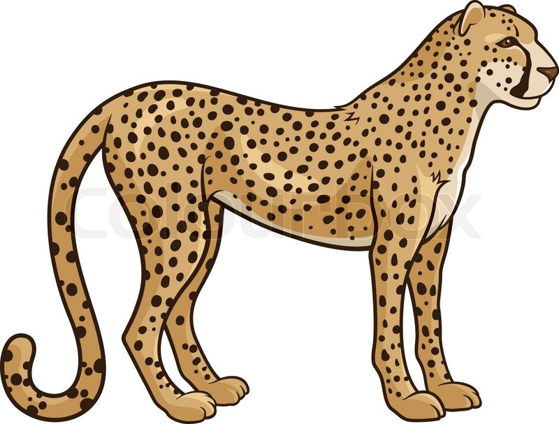 of a Cheetah Isolated on a