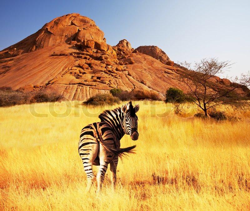zebras at sunset stock photo colourbox