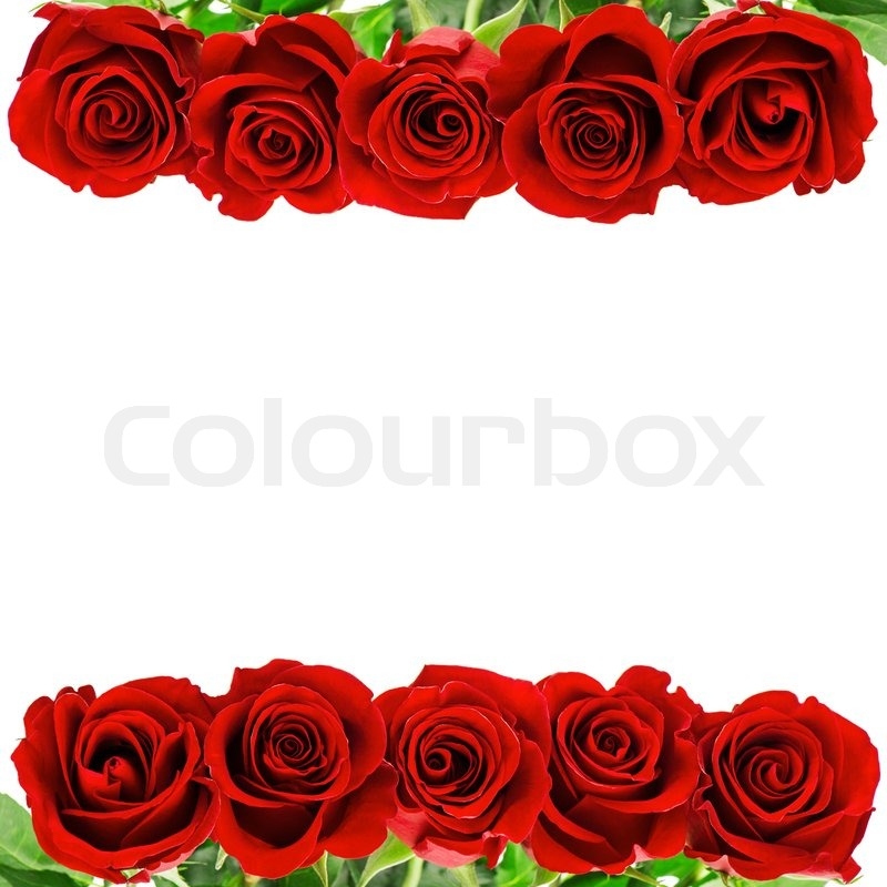 red rose flowers border isolated on white background with