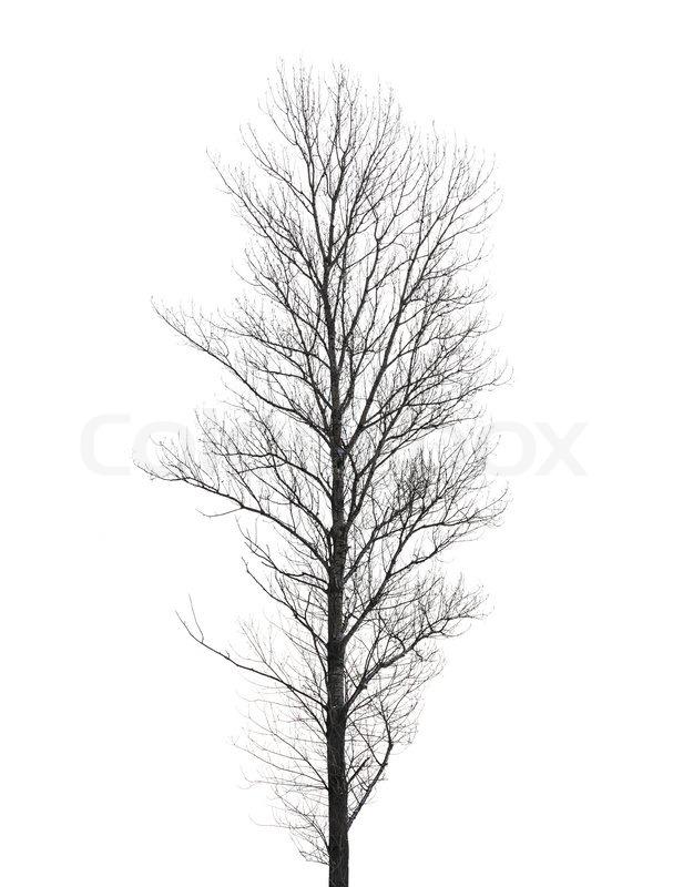 hohe pappelbaum ohne bl tter im winter isoliert auf weiss. Black Bedroom Furniture Sets. Home Design Ideas
