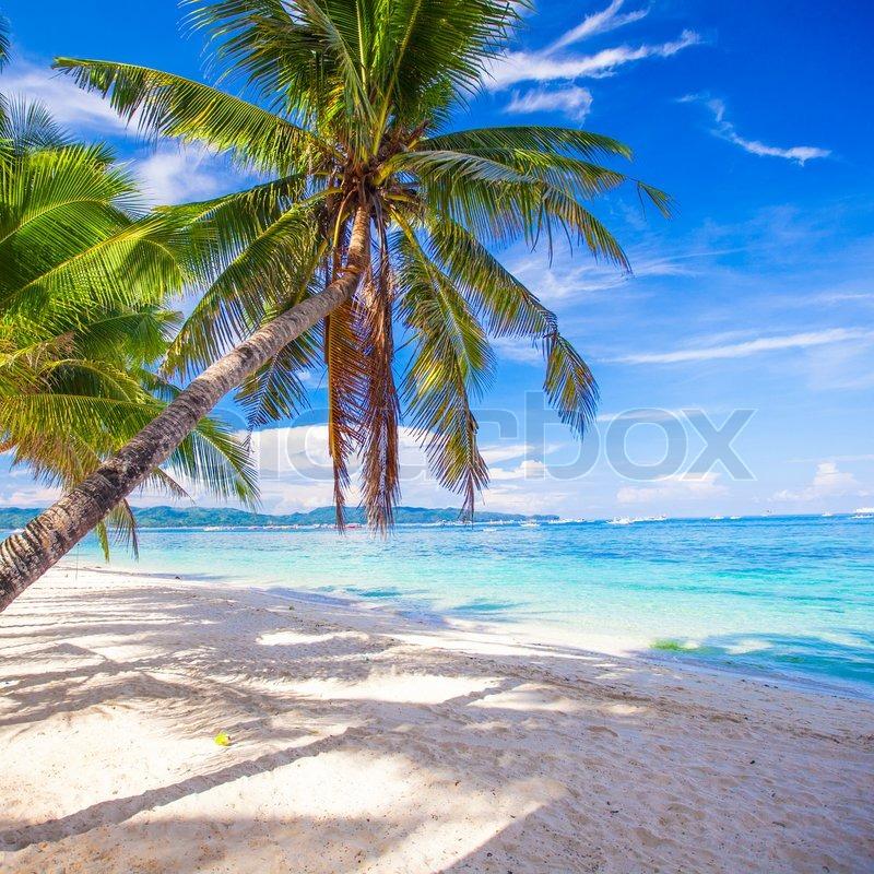 White Sand Beach Palm Tree Coconut Palm Tree on The White