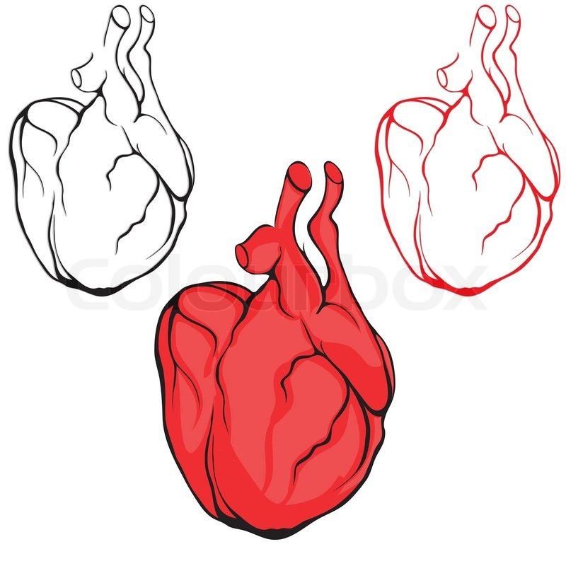 Herz menschlichen Körper Anatomie rote Skizze Satz isoliert auf ...