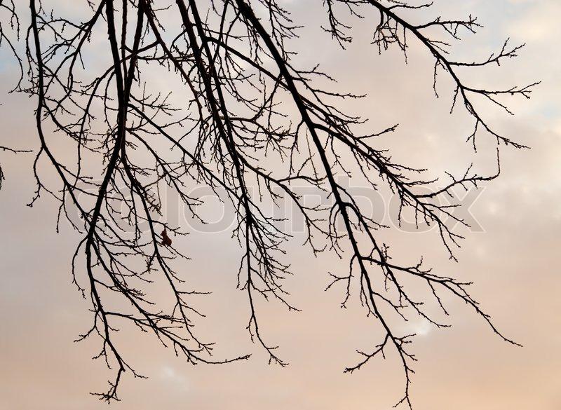 Kahler Baum Zweige gegen den Himmel bei Sonnenuntergang | Stockfoto ...