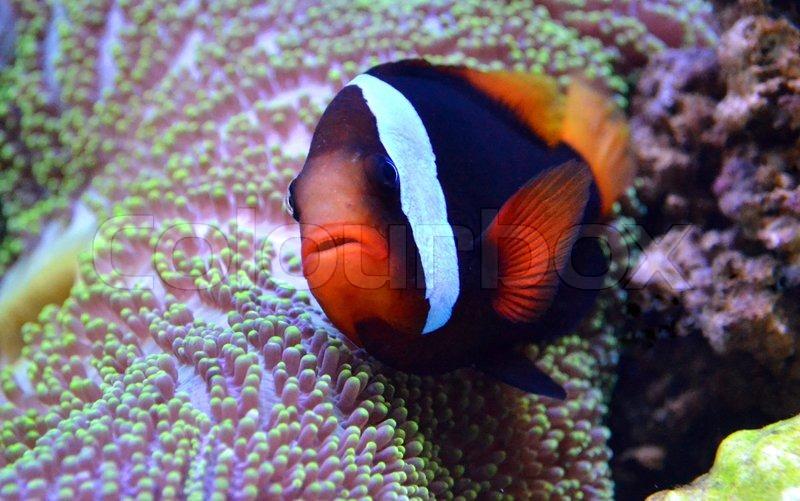 Немо рыба и актинии, stock photo