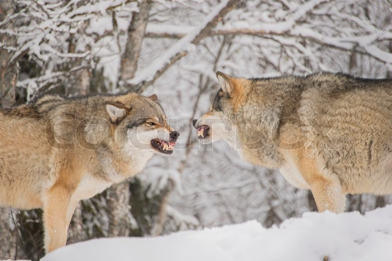 Two Male Wolves Snarling At Each Other Stock Image Colourbox
