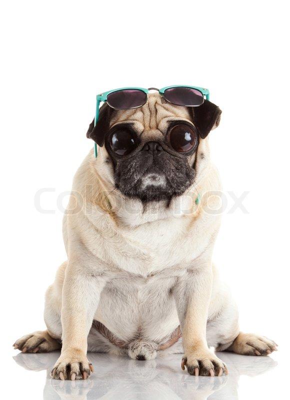 Mops Hund mit Sonnenbrille. Mops Hund mit großen Augen, die isoliert ...