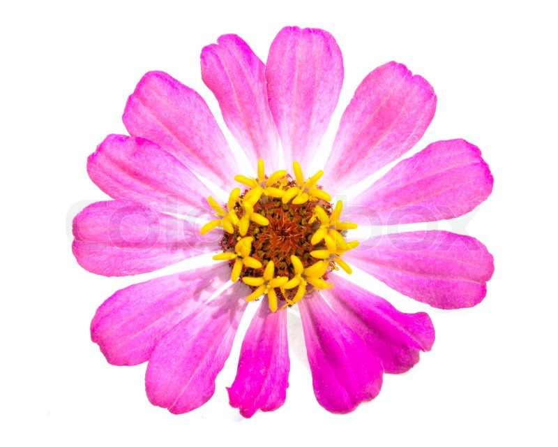 Single pink zinnia flowers isolated on white background stock single pink zinnia flowers isolated on white background stock photo mightylinksfo