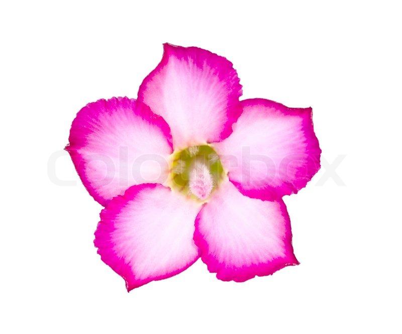 Single Azalea Flowers Isolated On White Stock Image Colourbox