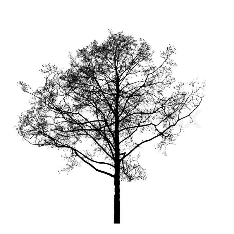 Cool Tree Black And White: Black Leafless Alder Tree Photo Silhouette On White