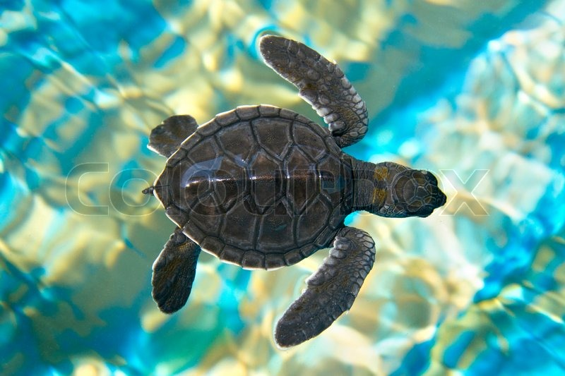 babyschwimmen sie meeresschildkröte im   stockfoto