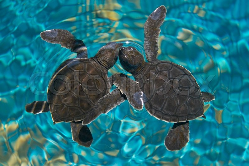 Cute baby sea turtles in the water - photo#11