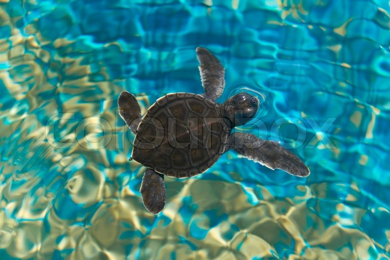 Cute baby sea turtles in the water - photo#24