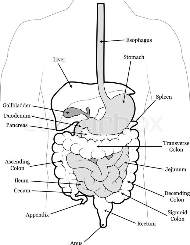 detailed outline of the human digestive system