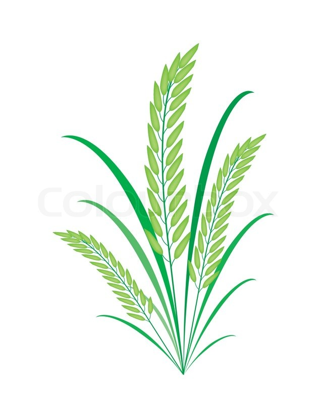 Environmental Concept Vector Illustration Of Fresh Rice Crop Or