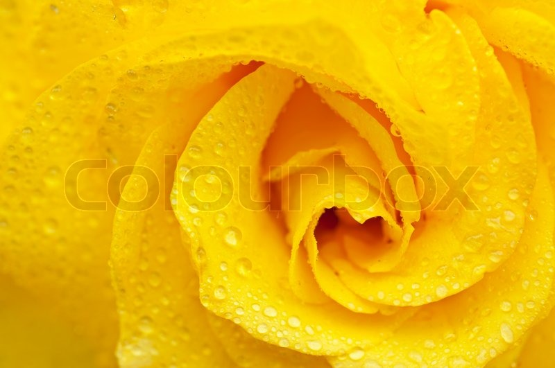 Yellow Rose With Water Drops: Yellow Beautiful Rose Macro With Water Drops, Floral